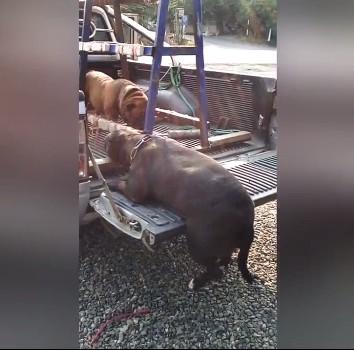 荷台にうまく乗れない太ったブルドッグ