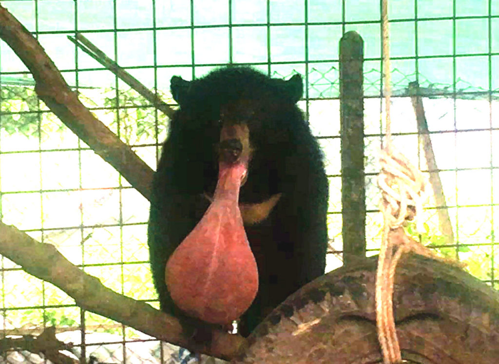 【出典:University of Edinburgh】奇病に侵され肥大化した舌を持つ熊