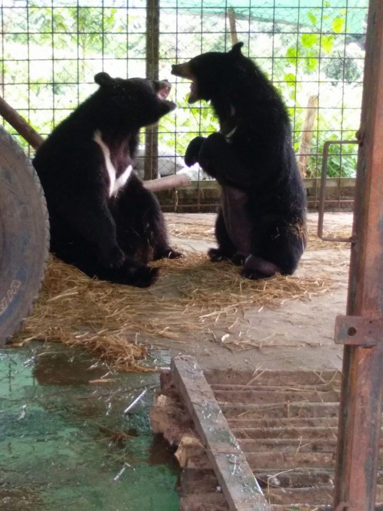 【出典:University of Edinburgh】兄弟熊のカン・トゥーと元気よく遊ぶニャン・トゥー