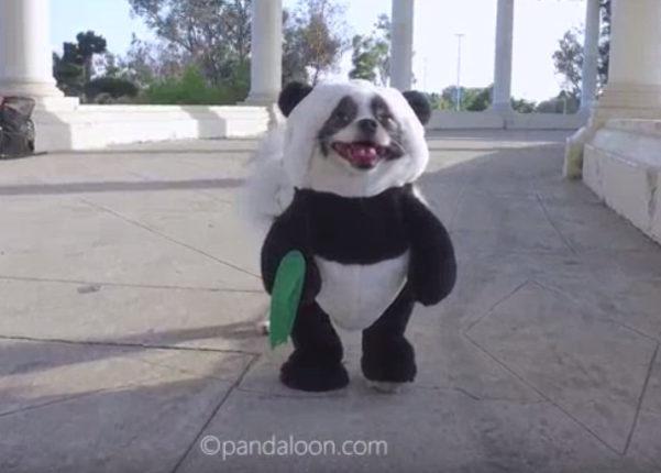 【出典:YouTube】じわじわと人気急増中のパンダ犬