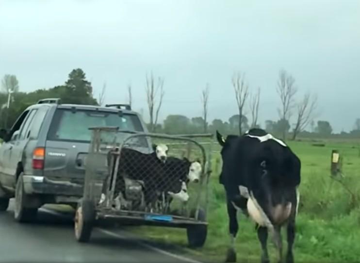 【出典:YouTube】連れていかれる我が子を必死で追いかける母牛