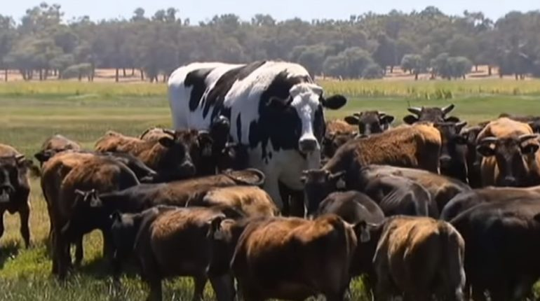 【出典:Guardian News/YouTube】巨大だったがゆえ命拾いした牛