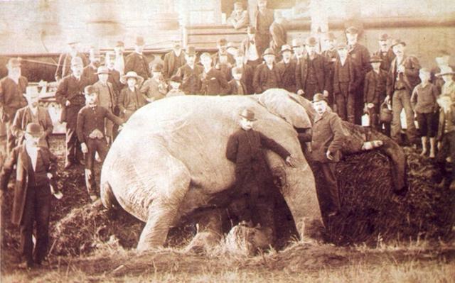 【出典:WikiMediaCommons】ジャンボ、1885年9月15日セントトマス、オンタリオ州で機関車との衝突後